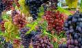 В Москве в Аптекарском огороде открылась выставка винограда с дегустацией